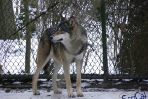 IMGP6735_zoo_lupo
