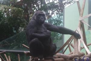 IMGP6771_zoo_gorilla