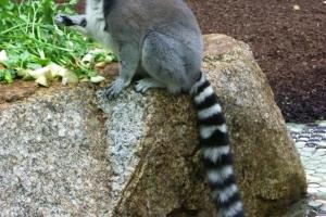 IMGP6801_zoo_lemuri