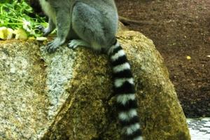 IMGP6803_zoo_lemuri