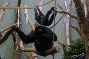 IMGP6814_zoo_gibbone