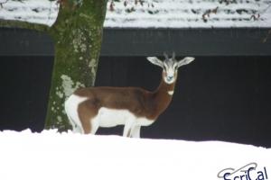 IMGP6828_zoo_gazzella dama