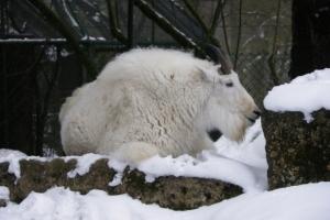 IMGP6853_zoo_capra di montagna