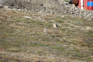 IMGP7096_Longyearbyen_volpe artica