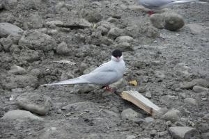 IMGP7790_Longyearbyen_artic terns