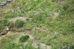 IMGP6152_fauna-marmotte