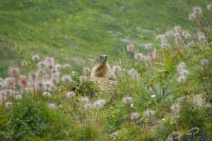 IMGP6199_fauna-marmotte