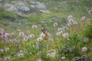 IMGP6202_fauna-marmotte