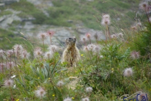IMGP6204_fauna-marmotte