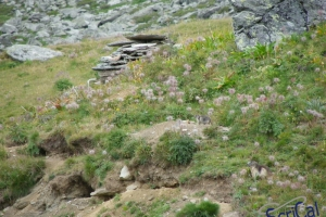IMGP6154_fauna-marmotte