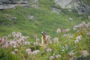 IMGP6201_fauna-marmotte