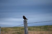 DSC_0152_flatey-uccello