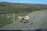 DSC_0053_strada-verso seydisfjordur-gravel-pecore