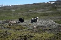DSC_0055_strada-verso seydisfjordur-pecore