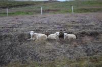 DSC_0006_strada-verso holmavik-hrutafjordur-pecore sedute