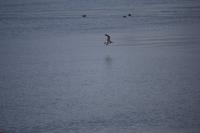 DSC_0195_isola hrisey-uccelli