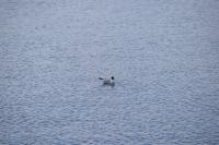 DSC_0206_isola hrisey-uccelli