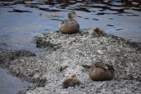 DSC_0210_isola hrisey-uccelli