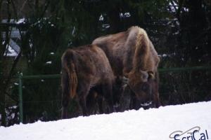 IMGP6732_zoo_bisonte europeo