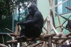 IMGP6768_zoo_gorilla