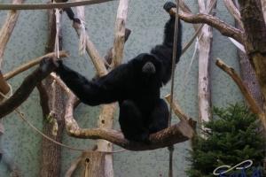 IMGP6813_zoo_gibbone