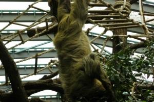 IMGP6850_zoo_bradipo