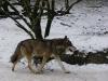 IMGP6737_zoo_lupo