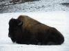 IMGP6749_zoo_bisonte americano