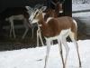 IMGP6830_zoo_gazzella dama