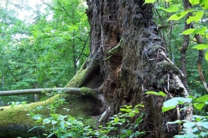 100_5181_parco_primordiale_albero caduto.jpg