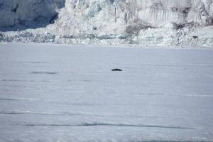 IMGP7249_Barentsburg_ghiacciaio Esmarkbreen_foca_x