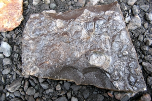 IMG_8785_Longyearbyen_fossili_x