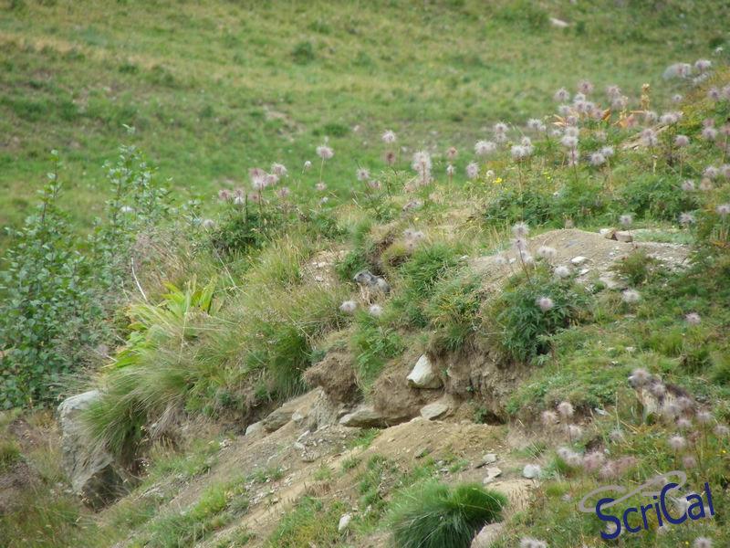IMGP6161_fauna-marmotte