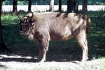 Bisonte europeo parco di Białowieża