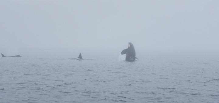 Prime orche avvistate