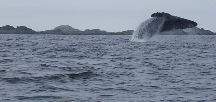 balena salta fuori dall'acqua