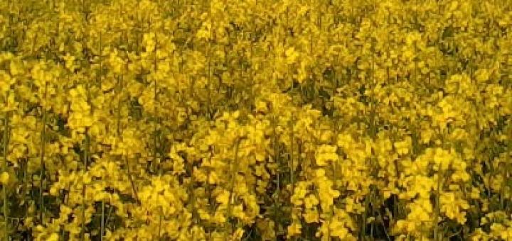 Uno squarcio di giallo nel grigio maltempo