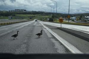 Oche attraversano la strada, appena fuori Reykjavik